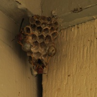 a paper wasp tending its nest