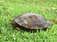 Turtle sitting in grass